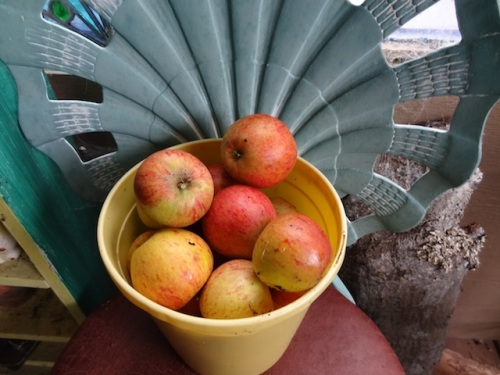 I picked so many Cox's Orange Pippin apples that I will be giving them away to friends.