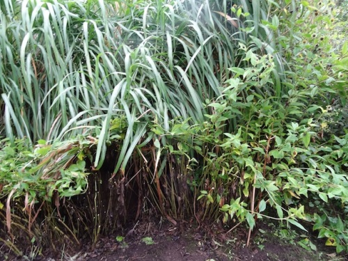 stems left to hold back the giant Miscanthus