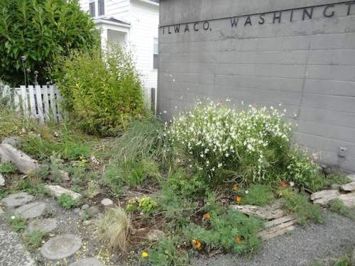 Ilwaco Post Office with Gaura 'Whirling Butterflies' still in bloom.