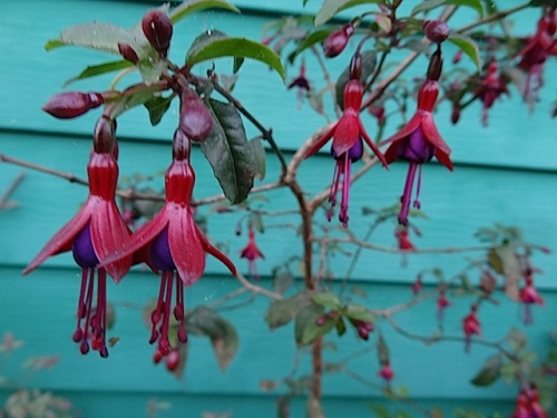 Fuchsia 'Celtic Night'