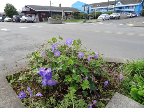 Geranium 'Rozanne' halfway cut back and still blooming in front of the police station