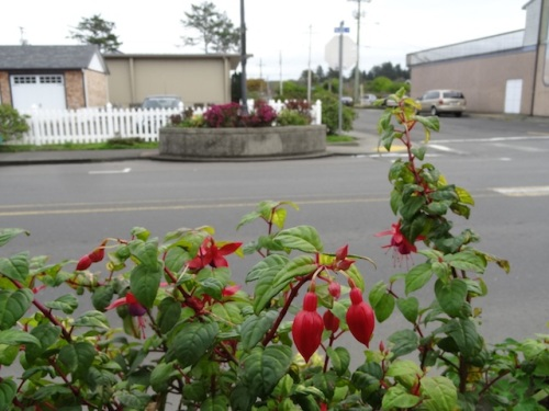 Fuchsias still blooming in the planter at the south end of Dennis Co (and the flowers across the street are long lasting chrysanthemums).