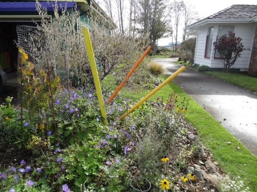 Geranium 'Rozanne' and rudbeckia and penstemons still blooming by our driveway.