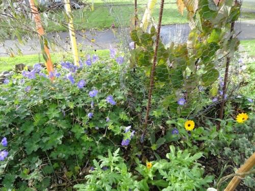 Geranium 'Rozanne' and calendula