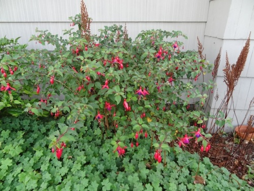 hardy fuchsia and dried astilbe flowers, which I like to leave up for winter
