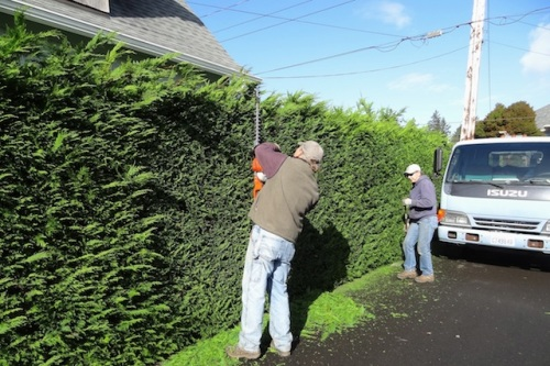 This is a huge hedge trimming project.
