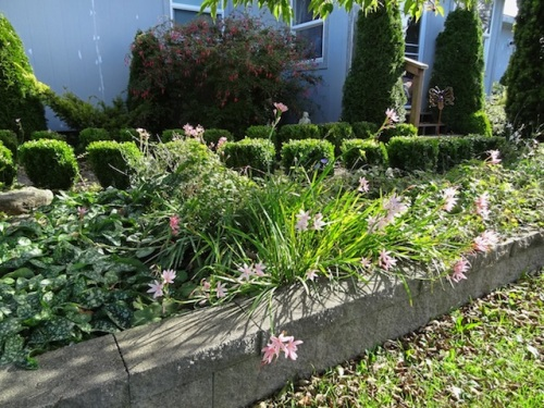 front garden with Schizostylis, either 'Viscountess Byng' or 'Miss Hegarty'