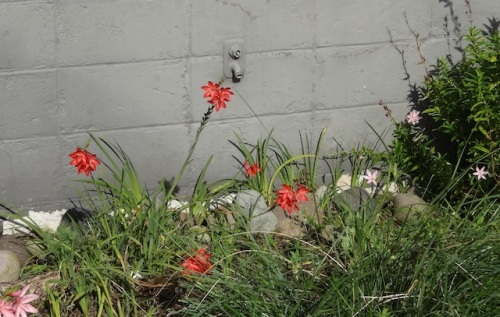 schizostylis in the post office garden