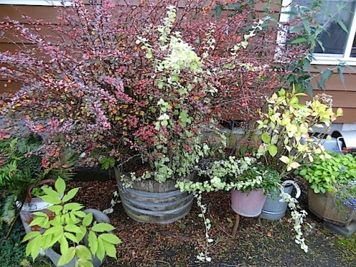 barberry with Helichrysum 'Limelight'
