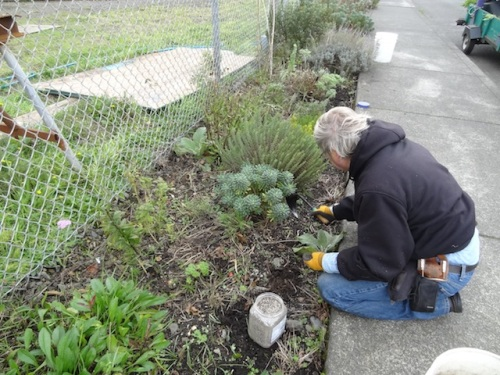 Allan dividing a replanting some muscari