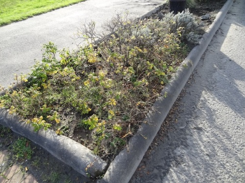 We did not take time to weed all of the areas where roses are too thick for bulb planting.