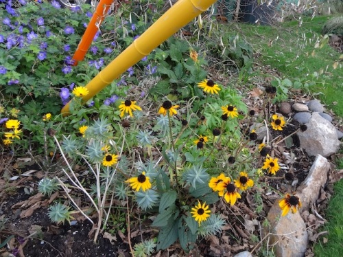 Rudbeckia 'Goldsturm' (from Our Kathleen)