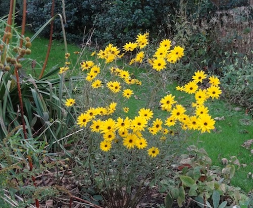 Helianthus 'Gold Lace'