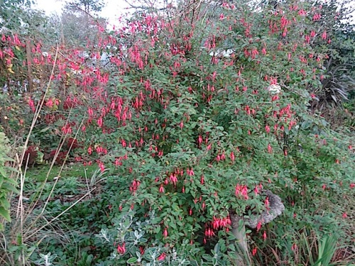 assorted hardy fuchsias