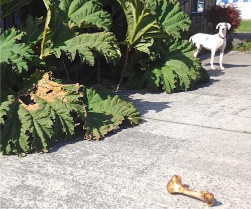 Beachdog entry with Gunnera and Great Dane (Allan's photo)