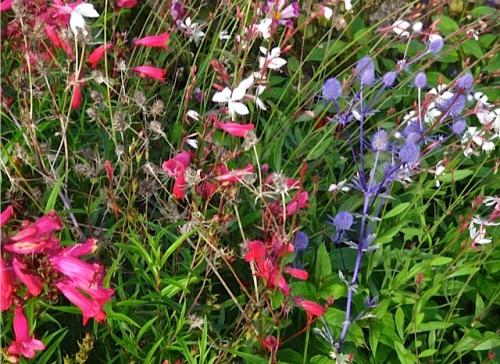 penstemon and eryngium in the vet field garden (Allan's photo)