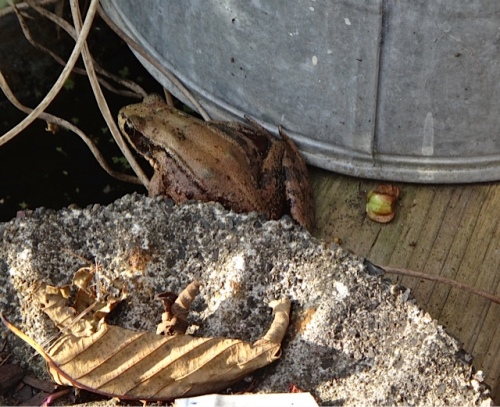 a huge frog by the water boxes