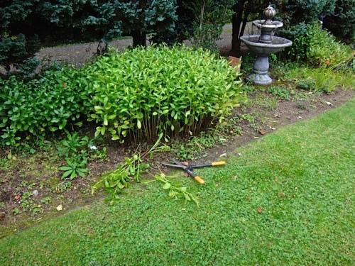 Allan's photos: Shasta daisies before...