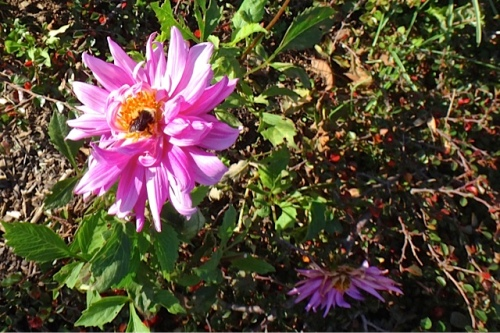 bee on a tattered dahlia (Allan's photo)