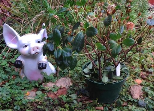 memorial azalea (Allan's photo)