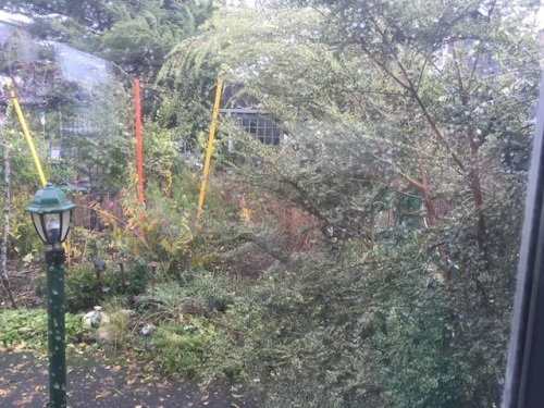Out the north east window: The variegated Azara is in a sheltered nook and yet was whipping sideways in the wind.