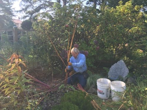 Allan cutting down the towering Thalictrum 'Elin'. We want the stems for Halloween decorations.