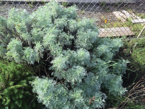 This Artemisia 'Powis Castle' looks handsome enough to leave alone today.