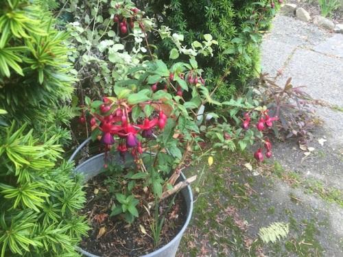 Fuchsia 'Debron's Black Cherry'