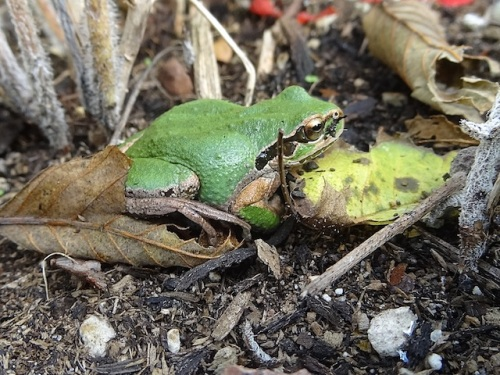 Pacific tree frog woken from a nap.