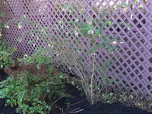 Fuchsia 'Hawkshead' can now be seen.