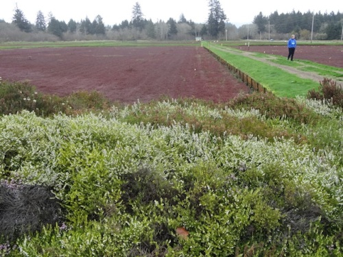 heather planted to attract pollinators