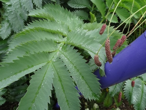 Melianthus major; could have been tears, but was just rain.