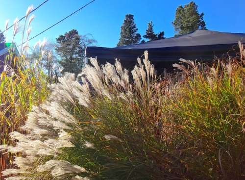 ornamental grasses on the east side of the dining deck