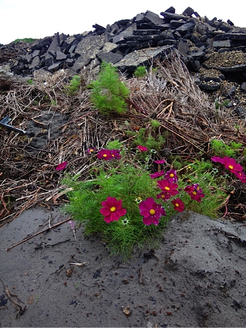 cosmos blooming in the City Works debris pile.