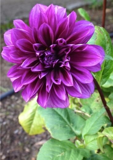 a late dahlia (Allan's photo)