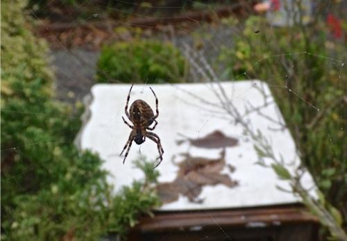 garden spider (Allan's photo)