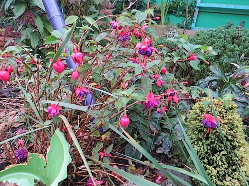 Hardy fuchsias are still blooming all over the garden.
