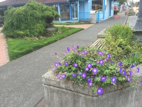Geranium 'Rozanne' still blooming
