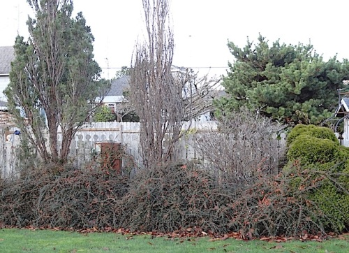 cotoneaster in Coulter Park